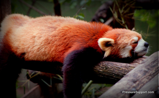 DreamNight Red Tailed Panda